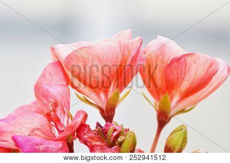 Pink Geranium In Close Up