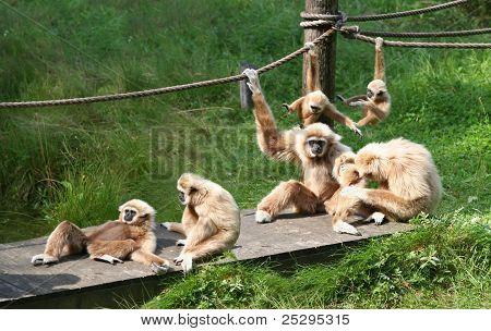 Glada apan familj
