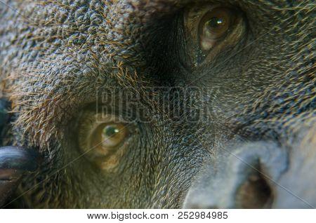 A Close Up Of The Eyes Of An Orangutan Sitting Still