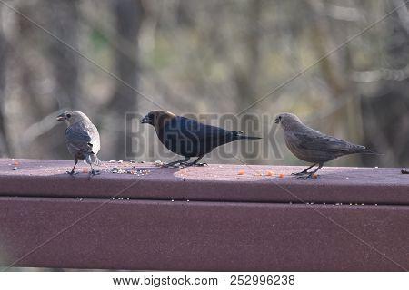 A Flock Of Cowbirds Eating Birdseed On A Backyard Deck Porch