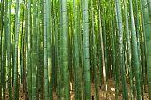 Beautiful bamboo forest in near Arashiyama, Japan poster