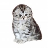 Portrait of little kitten of Highland Fold or or Scottish Fold longhaired and  flap-eared breed with fur colored in black marble on silver, close up, isolated on a white background poster
