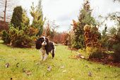 spaniel dog walking in november garden. Late autumn view with conifer and lawn with leaves poster