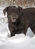 A smiling chocolate Labrador Retriever has a snow covered head after digging in the snow. poster