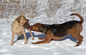 A Boxer-Shepherd mix gets in the playing pose with a Puggle. poster