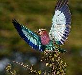 Lilac-breasted Roller ( Coracias caudata ) with catch. poster