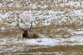 Rocky Mountain Elk resting on snowy field. Colorado USA poster