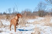 A vizsla dog pointing in a snowy field in winter. poster