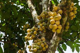 Duku Or Langsat Or Longgong Is A Local Fruit In Thailand.