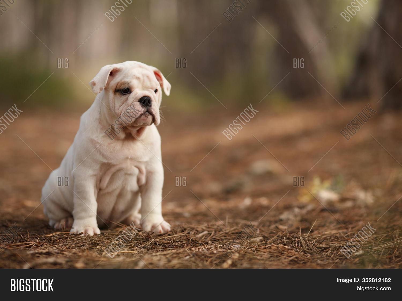 Cute English Bulldog Image Photo