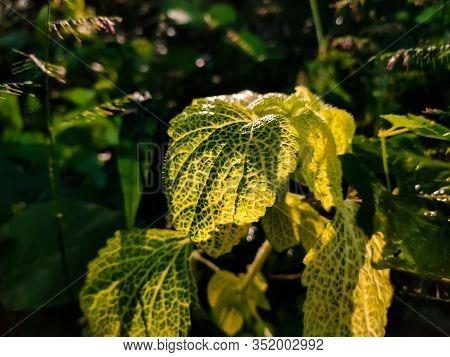 Coleus Is A Former Genus Of Flowering Plants In The Family Lamiaceae.