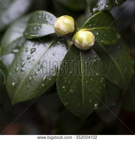 White Camellia Angela Cocchi (camellia Japonica) With Green Leaves. View Of A Beautiful White Camell