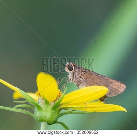 An Ocola Skipper Butterfly (panoquina Ocola) Nectars On A Woodland Sunflower In Late Summer, David C