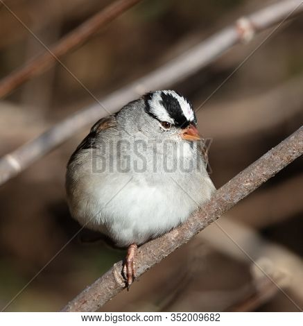 A Puffed Up White-crowned Sparrow (zonotrichia Leucophrys) Sits On A Branch On One Foot On A Cold No