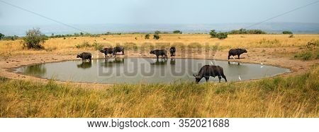 The African Buffalo Or Cape Buffalo (syncerus Caffer) Herd Of Buffalo On The Shore Of Waterholes.typ