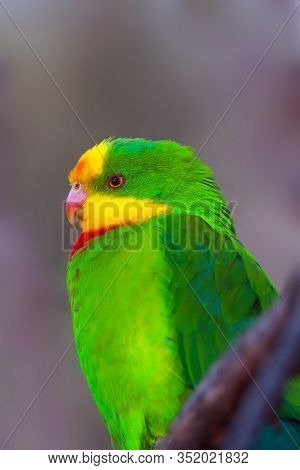 The Superb Parrot (polytelis Swainsonii), Also Known As Barraband's Parrot, Barraband's Parakeet, Or