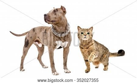 Pitbull And Playful Cat Scottish Straight Standing Together Isolated On White Background