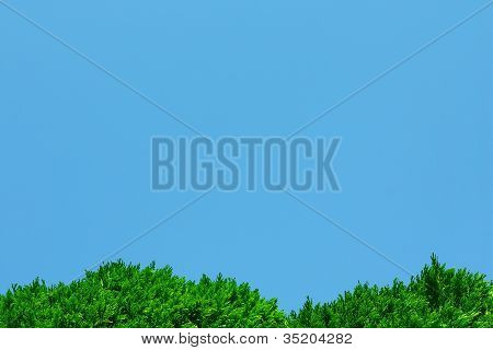Green thuja foliage and blue sky background