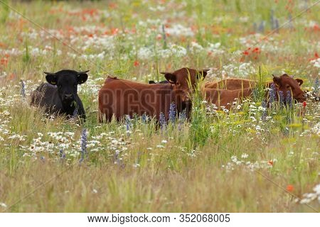 Beautiful Dexter Cows In A Long Grass Flower Meadow. Black And Brown Cattle Close Up In Nature.