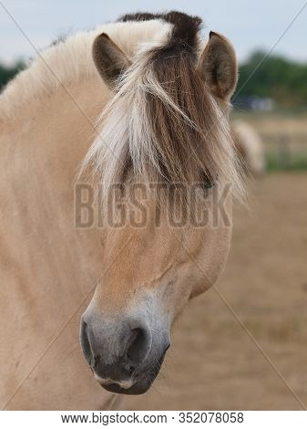 A Head Shot Of A Stunning Fjord Pony With A Tradionally Trimmed Mane.