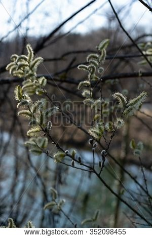Brugg, Aare, Landschaft, Pussy Willow Flower On Tree With  Light Sky. Easter; Background; Beautiful;
