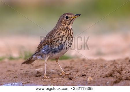 Song Thrush (turdus Philomelos) Foraging On The Ground In Garden In The Spanish Pyrenees, Vilagrassa