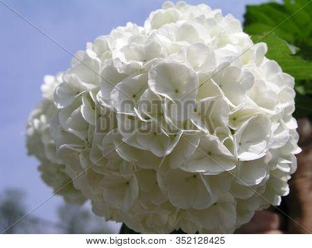 Viburnum Opulus Roseum, Guelder-rose Or Guelder Rose, Water Elder, Cramp Bark, Snowball Tree And Eur