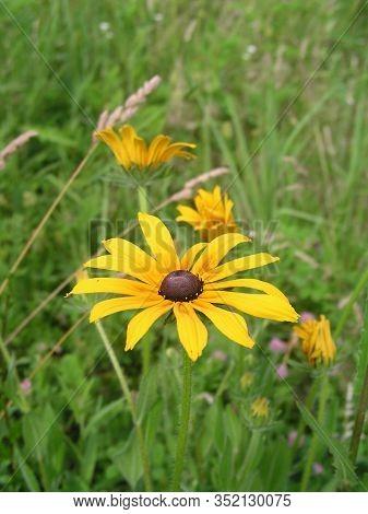 Ratibida Pinnata Is Plant In Aster Family Pinnate Prairie Coneflower, Gray-head, Yellow And Prairie
