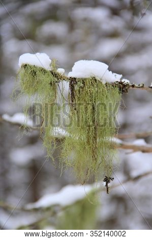 Green Moss Sprouts Hanging From A Branch On Winter Blur Background. Stock Vertical Photo For Web, Pr