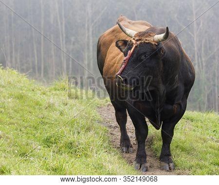 A Bos Taurus Bull In A Meadow Facing Sideways, Copy Space