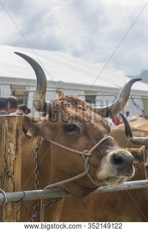 A Bos Taurus Cow With Big Horns Looks Closely At The Camera At A Cattle Show