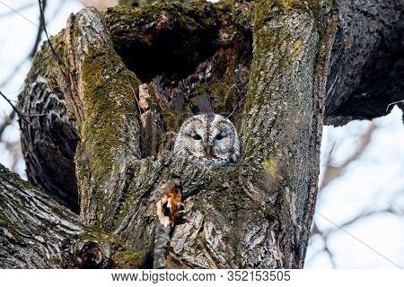 Tawny Owl Strix Aluco Sitting In Hole On Tree. Cute Nocturnal Bird Of Prey In Wildlife.