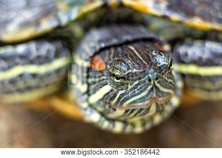 Red Eared Terrapin - Trachemys Scripta Elegans. Red Eared Slider Turtle In The Summer Sunlight