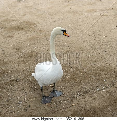 Beautiful White Swans With A Red-black Beak Near The River. Free Bird. A Pair Of Swans. Swans Walk O