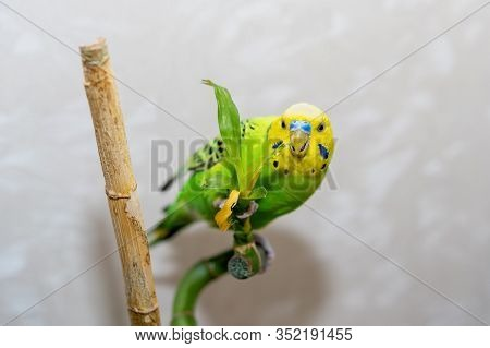 Pet Hand-held Bird Pet Sits On A Bamboo Branch Dry. A Parrot Is Nibbling A Bamboo Branch. Close-up O