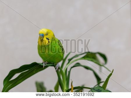 A Green Budgie Is Sitting On A Green Plant. Poultry Hand Made Pet. The Parrot Sits With His Eyes Clo