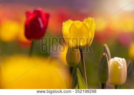 Tulip Field With Yellow And Red Tulips In Backlight. Backlight Photography
