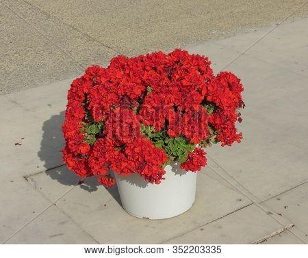 Red Flower Of Plant Geranium (geraniales) Aka Cranesbill