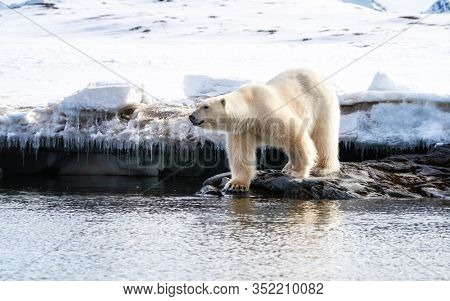 Adult male polar bear stands at the edge of the sea in Svalbard, a Norwegian archipelago between mainland Norway and the North Pole. Side view with snow background.