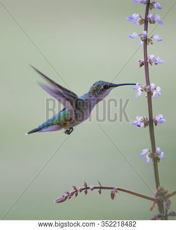 Adult Female Ruby Red Throated Humming Bird Drinking Nectar From Flower