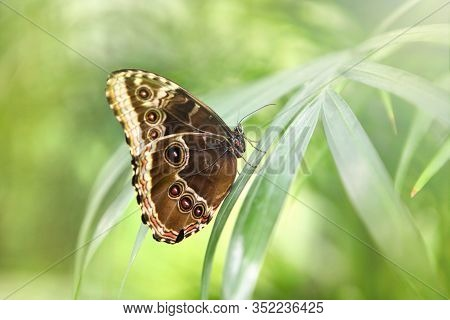 Tropical Butterfly Caligo Atreus On The Grass. Beautiful Incects. Wild Nature