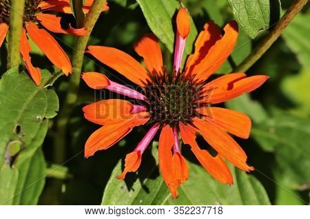 Orange Skipper (echinacea Purpurea) Is A North American Species Of Flowering Plant In The Sunflower