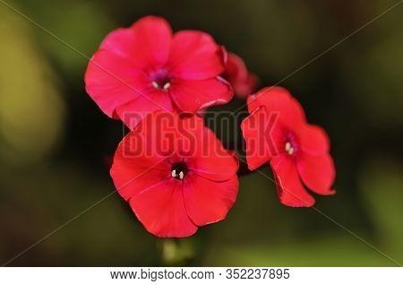 Phlox Drummondii (commonly Annual Phlox Or Drummond's Phlox) Is A Flowering Plant In The Genus Phlox