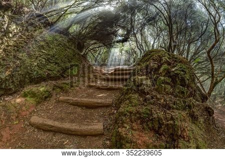 A Young Traveler In The Relic Forest. Anaga Mountain Range On The Island Of Tenerife. Giant Laurels
