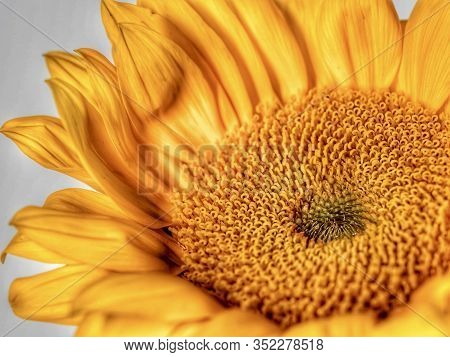 Yellow Sunflower Bloom Up Close In Macro Photography Shot With Hdr.  Beautiful Nature, Bright And Ch