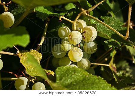 Dottie's Grapes