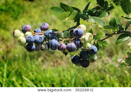 Blueberries Growing on a Farm