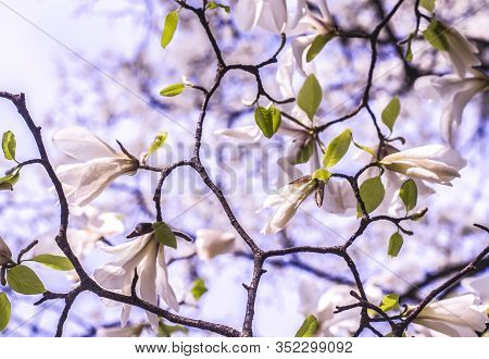 White Magnolia On A Blue Background. Spring Photo.
