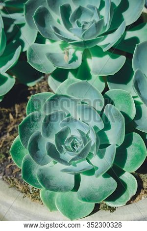 Green Aloe Succulent Plant Rosette In Stone Pot, Horizontal Outdoors Close Up Stock Photo Image