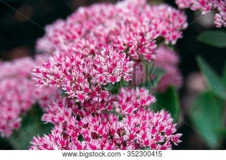Pink Colored Flowers Ofsedum Telephium